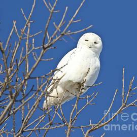 White Snowy Owl Blue Sky by Heather King