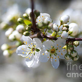 White Spring In Blossom by Joy Watson