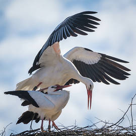 White Stork Mating by Tobias Luxberg