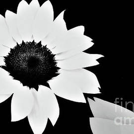 White sunflowers by Chris Bee Photography
