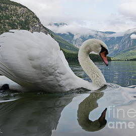 White swan on the Hallstatter See by Amalia Suruceanu