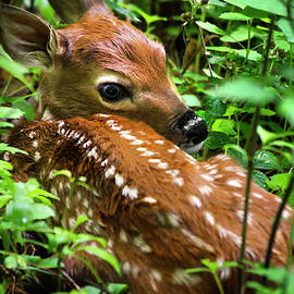 White Tailed Deer Fawn by Christina Rollo