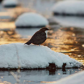 White-throated dipper in the evening light by Jouko Lehto