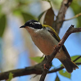 White-throated Honeyeater perched by Maryse Jansen