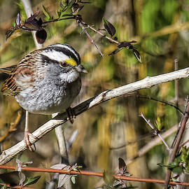 White Throated Sparrow by Bellesouth Studio