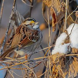 White Throated Sparrow In Winter #2 by Morris Finkelstein