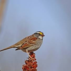 White-throated Sparrow on Sumac by Marlin and Laura Hum