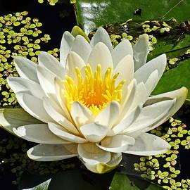 White Water Lily  by Lyuba Filatova