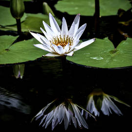 White Waterlily Reflections by Venetia Featherstone-Witty