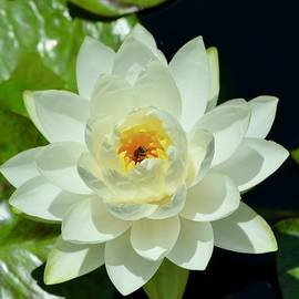 White Waterlily with Happy Bee by Richard Bryce and Family