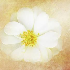 White Wild Rose by Terry Davis