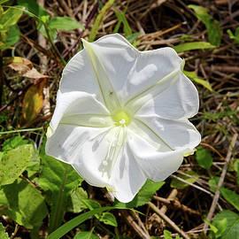 White Wildflower by Sally Weigand