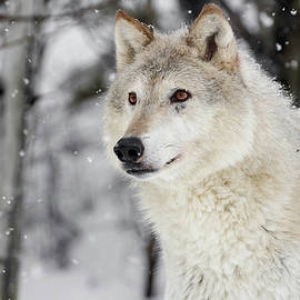 White Wolf Beauty by Wes and Dotty Weber