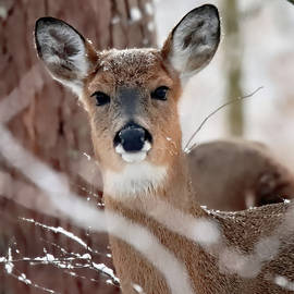 Whitetail Deer 49, Indiana by Steve Gass