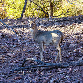 Whitetail Deer Buck 001128 by Renny Spencer