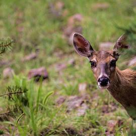 Whitetail Deer Doe 001505 by Renny Spencer