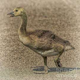Why Did The Gosling Cross The Road by Janice Pariza