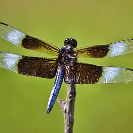 Widow Skimmer Dragonfly Male by Gaby Ethington