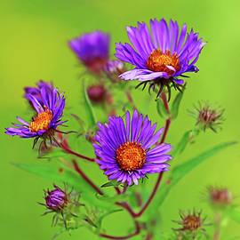 Wild Asters In Purple by Debbie Oppermann