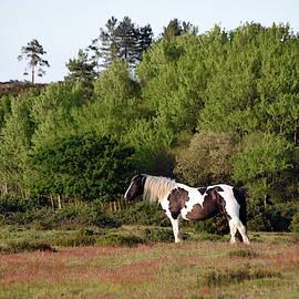 Wild black and white horse heathland Wareham Dorset by Loren Dowding