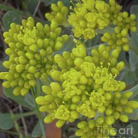 wild buckwheat, El Dorado National Forest, California, U. S. A. by PROMedias Obray