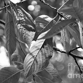 Wild Cherry leaves, in black and white by Maria Faria Rodrigues