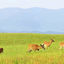 Wild deer at Cades Cove in Great Smoky Mountains National Park by David Carillet