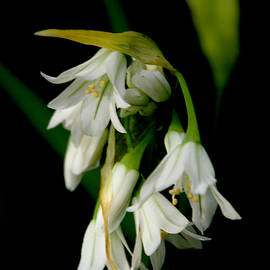 Wild Garlic by Graham Palmer
