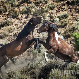 Wild Horse Fight 3 by Webb Canepa