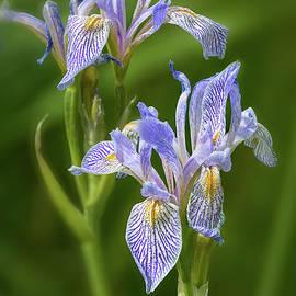 Wild Owyhee Blue Iris by John Rogers