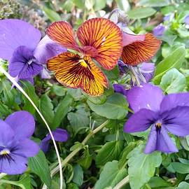 Wild Pansies by Charlotte Gray