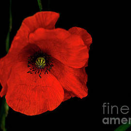 Wild Poppies in Holland Grow by Norma Brandsberg