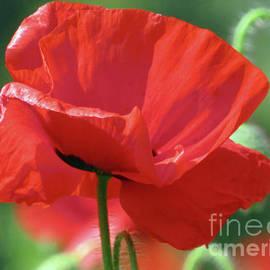 Wild Poppy In Sunlight 2 by Kim Tran