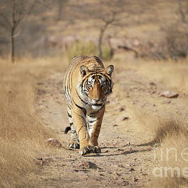 Wild Royal Bengal Tiger - Stalking by Mikey Parsons