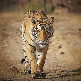 Wild Royal Bengal Tiger - Stalking Portrait by Mikey Parsons