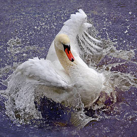 Wild Swan Splashing by Nicola Fusco