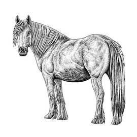 Wild white horse ink illustration by Loren Dowding