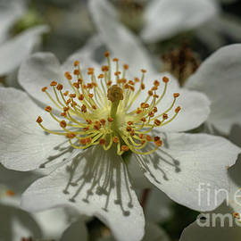 Wild White Rose by Linda Howes