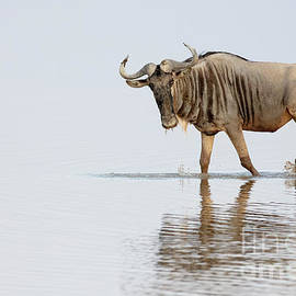 Wildebeest or Gnu from Africa by Linda D Lester