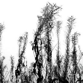 Willow Herb in late Autumn, monochrome lighter by Paul Boizot