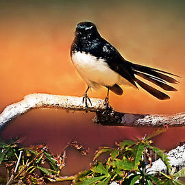 Willy Wagtail #1 by Trudee Hunter