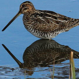 Wilsons Snipe Wading in Pond by Brian Baker