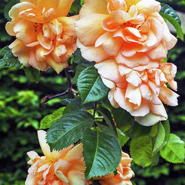 Wilted Roses by Angie C