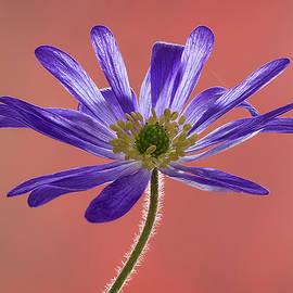 Windblown Anemone by Shirley Mitchell