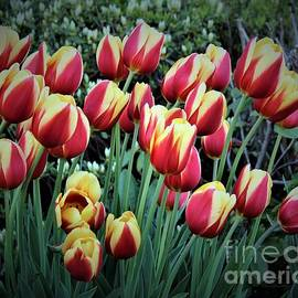 Windblown Red and Yellow Tulips by Dora Sofia Caputo