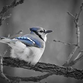Winter Jay in Selective by Carmen Macuga