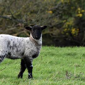 Winter lamb Kimmeridge Dorset by Loren Dowding