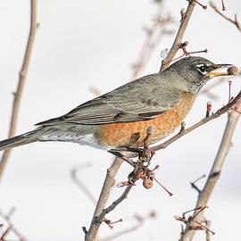 Winter Robin by Donna Kennedy