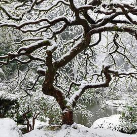 Winter Snow on Maple Tree in Portland Japanese Garden by Tom Schwabel
