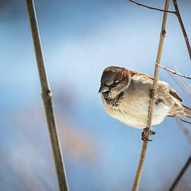 Winter Sparrow by Philip Walker